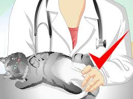how to care for your cat after neutering or spaying
