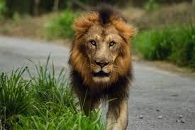 male lion wallpapers 20 lion pictures download free images on unsplash