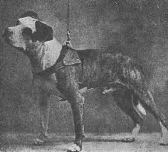 american pit bull terrier history colby u0027s tige 1896 american pit bull terrier pinterest