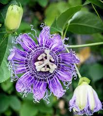 Purple Flower On A Vine - purple passion flower vine for fritillaries and other butterflies