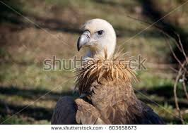 Seeking Vulture White Vulture Seeking Food Izmirturkey Stock Photo 70821622