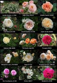 david roses true garden roses most smell