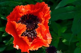 blossom gorgeous pretty flower orange poppy poppies
