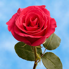hot pink roses globalrose 2 dozen hot pink roses pretty walmart