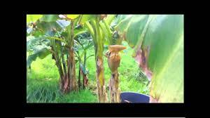 Tropische Pflanzen Im Garten Bananenpflanzen In Deutschland Mein Garten Life Youtube