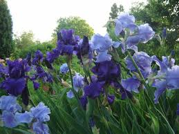 pa native plants stop the bagging mushrooms in the lawn and non blooming irises