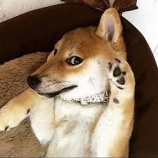 Doge Meme Tumblr - look at those famous doge eyes photo credit neya shiba