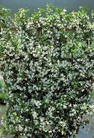 Fragrant Jasmine Plant - amazon com asiatic star jasmine plant trachelosperumum