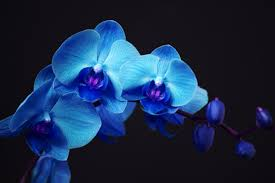 blue orchids how to grow orchids indoors with spectrum led grow lights