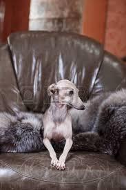levrette sur canapé chien greyhound italien é sur le canapé banque d images et