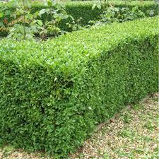 native hedging plants uk buxus sempervirens common box plants buy box plants