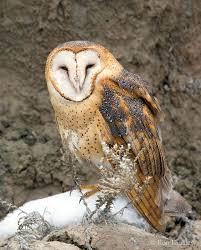 What Does A Barn Owl Look Like Barn Owl Tyto Alba In Explore Raptors Facts Habitat Diet