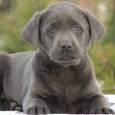 bluetick coonhound labrador retriever mix for sale charcoal labrador puppies for sale in pa greenfield puppies