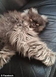 Colonel Meow Memes - goodbye minions internet sensation and world s angriest cat