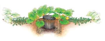 Squash Plant Diseases Pictures - how to grow superb summer squash vegetable gardener