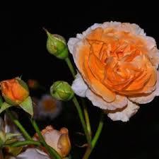 D Roses Rose Rosa U0027soleil D U0027or U0027 In The Roses Database Garden Org
