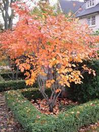 trees for small gardens amelanchier an ideal big shrub small