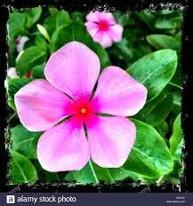 vinca flower pink vinca flower stock photos pink vinca flower stock images