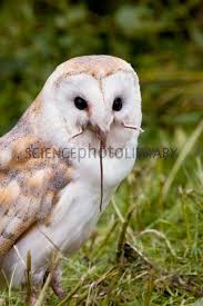 barn owl eating a mouse stock image c004 6680 science photo
