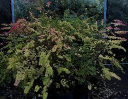 native plant nursery symphoricarpus u0027betsy u0027s berry u0027 east cost red snowberry matilija