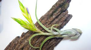 Air Plants How To Care For Air Plants