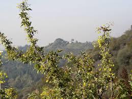 los angeles native plants flora of griffith park