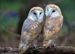 What Does A Barn Owl Look Like Sisterly Display Of Affection As Barn Owls Are Caught On Camera