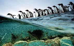 the gentoo penguins of antarctica queuing diving 31529 desktop