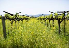 napa valley ground mustard napa valley gram what s new in the valley march 2016