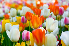 image of spring flowers spring has sprung and here are the pretty flowers you will see