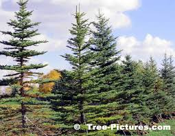 spruce tree pictures images photos of spruces