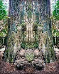 tree face redwood tree face photograph by martin konopacki