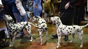 westminster dog show california journey wins prize cnn