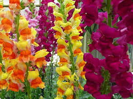 snapdragon flowers snapdragon flower planting and care tips enkiverywell
