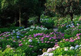 11 beautiful hydrangea flowers garden lovers club