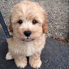 shi poo shihpoo my future pets pinterest poodle mix and poodle
