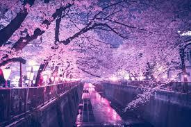 cherry blossom watching u0026 a surprise voyjer