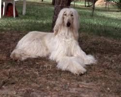 afghan hound club of st louis levrier afghan faé animaux pinterest