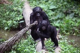 siege social bonobo république démocratique du congo