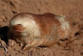 Moles Blind 5 Interesting Facts About Juliana U0027s Golden Moles Hayden U0027s Animal