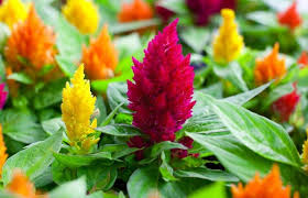 celosia flower care cockscomb