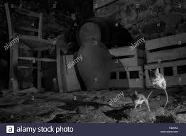 house mice mus musculus fighting in a basement taken at night