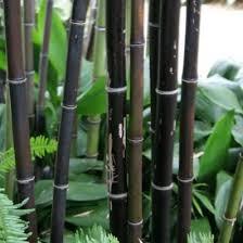 best 25 black bamboo plant ideas on black bamboo