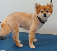 summer haircut pomeranian pomeranian haircut fox