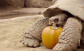 halloween continuous background tortoise pumpkin eating halloween party video time com