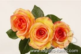 yellow roses with tips what do yellow roses represent the symbolism of a