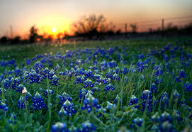 texas state flower bluebonnets picture texas proud