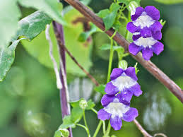 how to grow asarina the climbing snapdragon