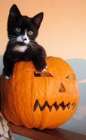 Halloween Kitty by 169 Best Cats U0027n Pumpkins Images On Pinterest Halloween Cat