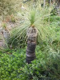 best australian native hedge plants australian native plants and the bush garden style u2013 grass trees